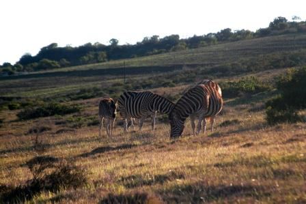 Burchell's Zebra family.